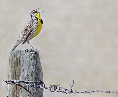Photograph - Montana Meadowlark's Spring Song by Jennie Marie Schell