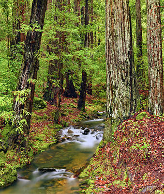 Photograph - Montgomery Woods Old Growth by Leland D Howard