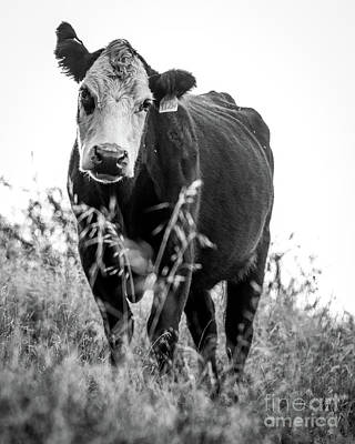 Photograph - Moo by Vincent Bonafede