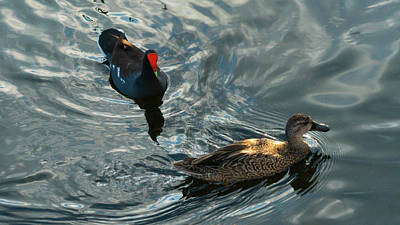 Photograph - Moorhen And Duck Green Cay Wetlands Boynton Beach Florida by Lawrence S Richardson Jr
