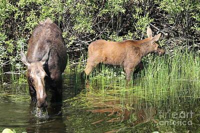 Wall Art - Photograph - Moose And Calf by Don Small Jr