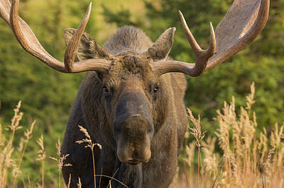 Us State Photograph - Moose Bull With Antlers,chugach State by Eastcott Momatiuk