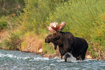 Photograph - Moose Crossing by Mary Hone