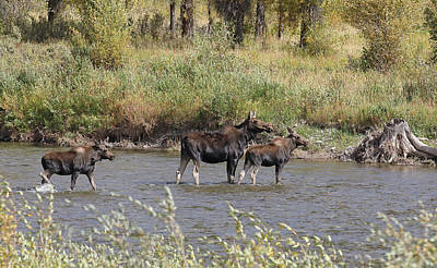 Photograph - Moose With Twins by Jean Clark