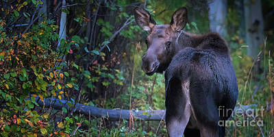 Photograph - Moosebutt by Doug Sturgess