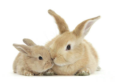 Photograph - More Kissing Love Bunnies by Warren Photographic