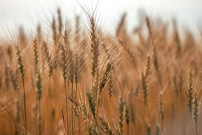 Photograph - More Wheat by Todd Klassy