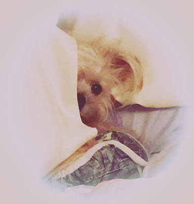 Maltese Puppy Wall Art - Photograph - Morkie by Mindy Newman