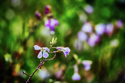 Photograph - Morning Dew And Purple Flowers by Stuart Litoff