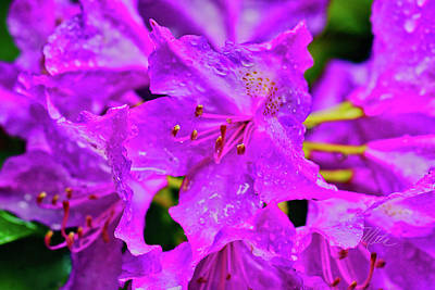 Photograph - Morning Dew On Rhododendron by Meta Gatschenberger