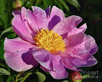 Aretha Franklin - Morning Exposure Bowl of Beauty Peony by Cindy Treger