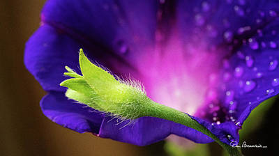 Dan Beauvais Royalty Free Images - Morning Glory 6071 Royalty-Free Image by Dan Beauvais