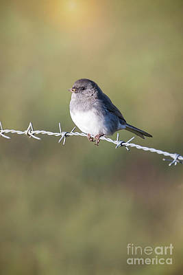 Photograph - Morning Junco by Sharon McConnell