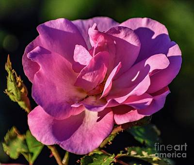 Angels And Cherubs - Morning Light And Shadows On A Peachy Knock Out Rose by Cindy Treger