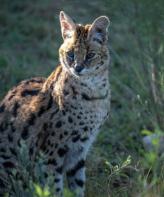 Photograph - Morning Lit Serval Cat by Gloria Anderson