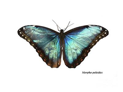 Animals Photos - Morpho peleides by Save the Insects