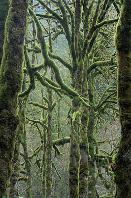 Photograph - Moss Covered Maple Trees, Dosewallips by Aaron Mccoy / Robertharding