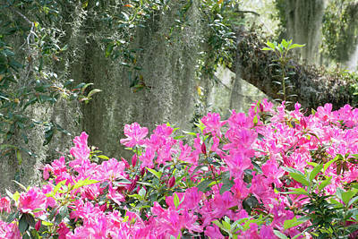 Photograph - Moss Covered Oak And Pink Azaleas by Bruce Gourley