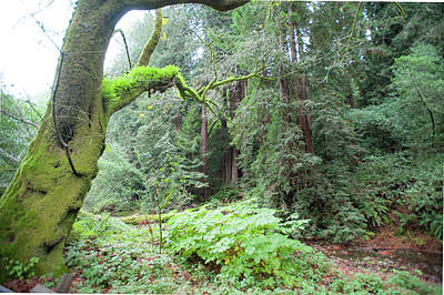 Photograph - Moss In Muir Woods by Mark Duehmig