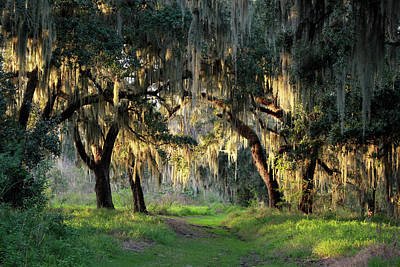 Photograph - Moss On Cedars - Florida by Rick Veldman