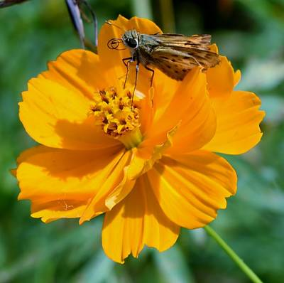 Photograph - Moth And Flower by Eileen Brymer