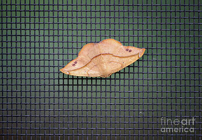 Photograph - Moth Lips by Karen Adams