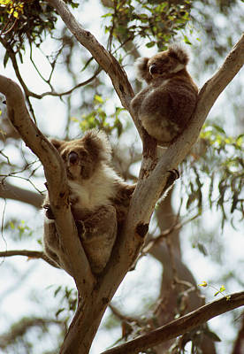 Animal Family Photograph - Mother And Juvenile Koala In Tree by Rodney Hyett