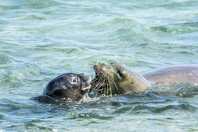 Photograph - Mother And Pup Monk Seals - Rb00 And Pk1 by Belinda Greb