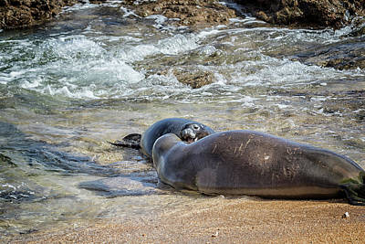 Photograph - Mother And Pup Monk Seals Size Comparison - Rb00 And Pk1 by Belinda Greb