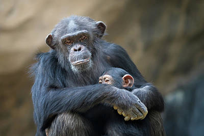 Animal Family Photograph - Mother Cuddling Baby Chimp by Eric Lowenbach