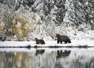 Photograph - Mother Grizzly Bear and Cub Walking along the shore by Claudio Bacinello