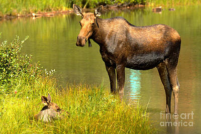 Photograph - Mother Moose And Junior by Adam Jewell