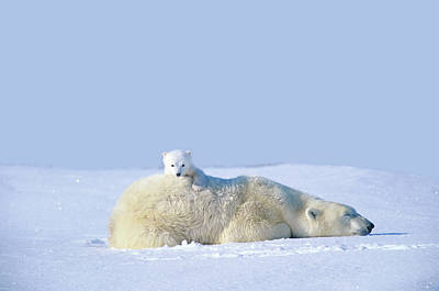 Animal Family Photograph - Mother Polar Bear With Cub, Lying On by Art Wolfe