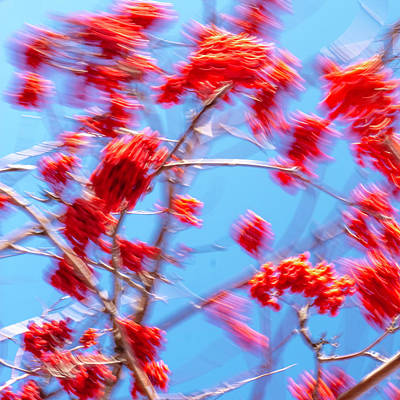 Mountain Ash Tree With Berries In Very Strong Wind Art Print