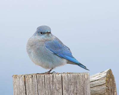 Photograph - Mountain Bluebird by Gerry Sibell