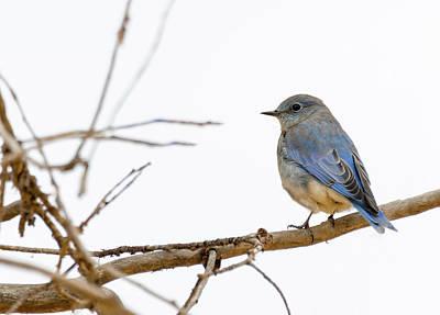 Photograph - Mountain Bluebird by Michael Chatt