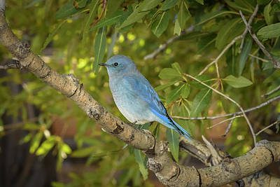 Bath Time Rights Managed Images - Mountain bluebird Royalty-Free Image by Rod Gimenez