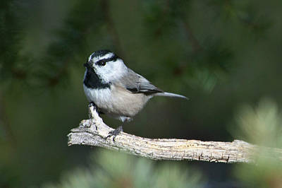 Photograph - Mountain Chickadee At Attention by Cascade Colors