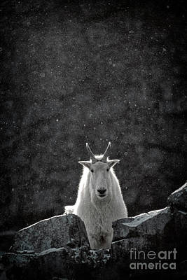 Photograph - Mountain Goat by Brad Allen Fine Art