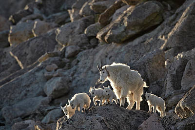 Animal Family Photograph - Mountain Goat Oreamnos Americanus Nanny by James Hager / Robertharding