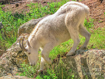 Photograph - Mountain Goat South Dakota by Benny Marty