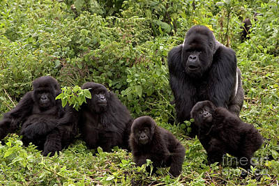 Photograph - Mountain Gorilla Family by Ingo Arndt
