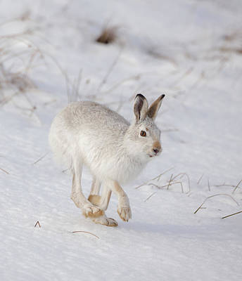 Photograph - Mountain Hare Hopping Along by Peter Walkden