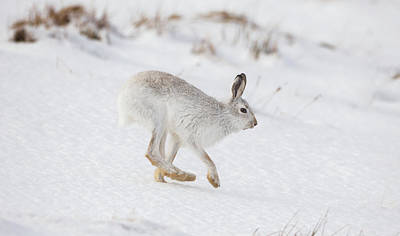 Photograph - Mountain Hare Hops By by Peter Walkden