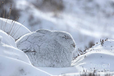 Photograph - Mountain Hare In Blizzard by Arterra Picture Library