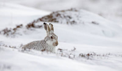 Photograph - Mountain Hare In Deep Snow by Peter Walkden