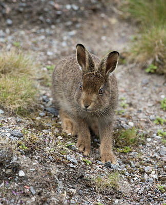Photograph - Mountain Hare Leveret Feeding by Peter Walkden