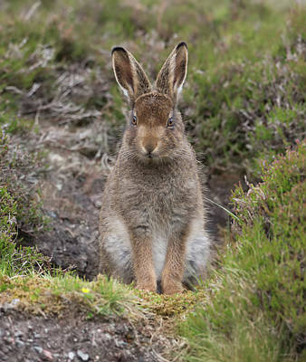 Photograph - Mountain Hare Leveret In Form by Peter Walkden