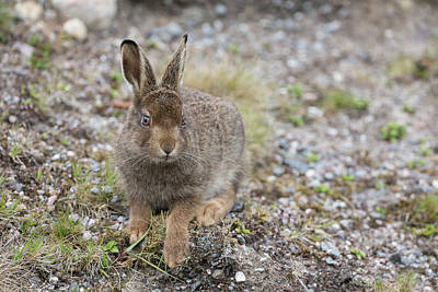 Photograph - Mountain Hare Leveret On Gravel by Peter Walkden