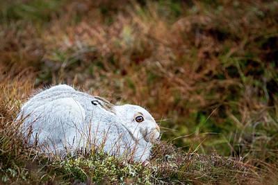 Photograph - Mountain Hare by Paul Sharman